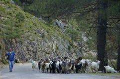 A flock of goats Royalty Free Stock Photos