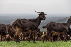 A Flock of Goats Grazing in Fresh Grass royalty free stock images