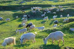 Flock of goats Royalty Free Stock Image