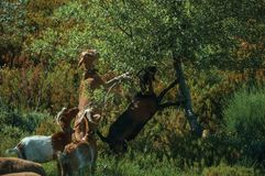 Flock of goats grazing on green leafy tree. With bushes in a rocky landscape, at the highlands of Serra da Estrela. The highest mountain range in continental royalty free stock image