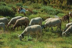 Flock of goats grazing on green sward with bushes. In a rocky landscape, at the highlands of Serra da Estrela. The highest mountain range in continental royalty free stock photos