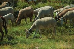 Flock of goats grazing on green sward with bushes. Flock of goats grazing on sward with bushes next to road in a rocky landscape, at the highlands of Serra da stock photography