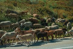 Flock of goats grazing on sward next to road. Flock of goats grazing on sward with bushes next to road in a rocky landscape, at the highlands of Serra da Estrela stock images