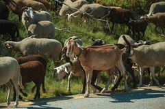 Flock of goats grazing on sward next to road. Flock of goats grazing on sward with bushes next to road in a rocky landscape, at the highlands of Serra da Estrela royalty free stock image