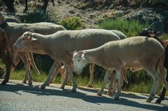 Flock of goats grazing on sward next to road. Flock of goats grazing on sward with bushes next to road in a rocky landscape, at the highlands of Serra da Estrela royalty free stock photography