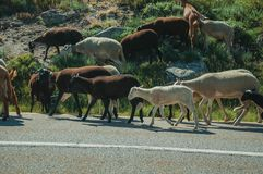 Flock of goats grazing on sward next to road. Flock of goats grazing on sward with bushes next to road in a rocky landscape, at the highlands of Serra da Estrela stock photography
