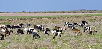 Flock of goats at the meadow Royalty Free Stock Photo