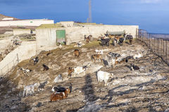 Flock of goats in the mountains Royalty Free Stock Photos