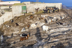 Flock of goats in the mountains. Of a cheese diary Stock Photography