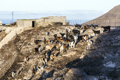 Flock of goats in the mountains. Of a cheese diary Royalty Free Stock Photo