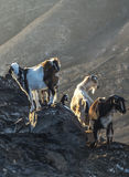 Flock of goats in the mountains Stock Images