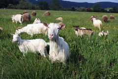 A flock of goats and sheep. On the meadow Royalty Free Stock Images