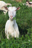 A flock of goats and sheep. On the meadow Royalty Free Stock Photo