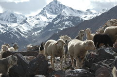 Flock of goats and sheep. Grazing in alpine pasture, Ladakh, Northern India Royalty Free Stock Photos