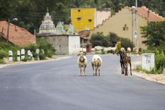 A flock of goats and sheep trying to cross busy road Stock Images