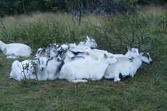 A flock of goats snuggling each other in Norway stock image
