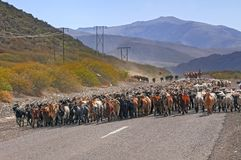 Herd of goats in Mendoza, Argentina. Flock of goats in transit to summer grazing places, veranadas, Mendoza, Argentina Stock Photography
