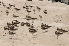 Flock of godwits Stock Image