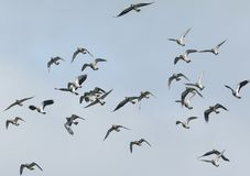 Golden Plover Pluvialis apricaria and Lapwing Vanellus vanellus in flight. Royalty Free Stock Photography