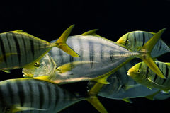 Flock Golden Trevally fish Royalty Free Stock Photo