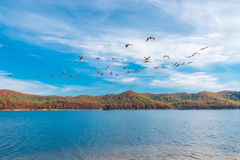 Flock of goose birds flying above the lake Stock Photos