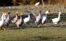 Flock of goose looking runs around on poultry farm Stock Photography