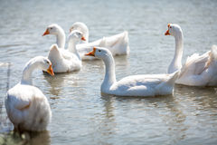 Flock of gooses on water Stock Images