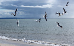 Flock of  graceful white seagulls flying over the sea Stock Images