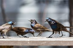 Flock Of Grackles On A Picnic Table Royalty Free Stock Photo