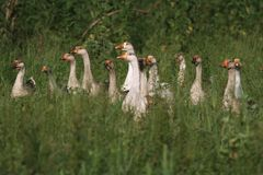 Flock of gray gooses in the grassland Stock Image