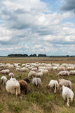 Flock of grazing sheep Royalty Free Stock Images