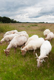 Flock of grazing sheep. This is an image of a flock of grazing sheep in the Dutch heathlands with a dramatic cloudy sky Stock Image