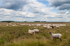 Flock of grazing sheep Royalty Free Stock Photography