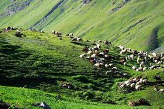 Flock of grazing sheep on grass field, Northern India Stock Photography