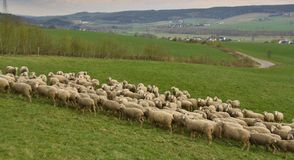 Flock of grazing sheep Royalty Free Stock Photos