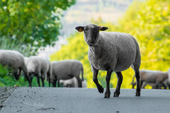 A flock of grazing sheep on the road Royalty Free Stock Image