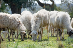 Flock of grazing sheeps Royalty Free Stock Photos