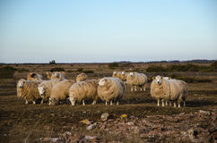 Flock of grazing sheeps Royalty Free Stock Photo