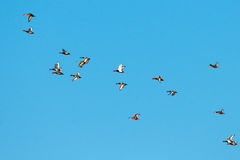 Flock of Great Crested Pochard Royalty Free Stock Photo