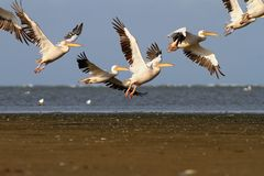 Flock of great pelicans ( Pelecanus onocrotalus ) in flight over sea Royalty Free Stock Photography