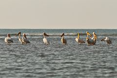 Flock of great pelicans in shallow water Stock Image