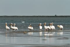 Flock of great pelicans standing in shallow waters stock photography