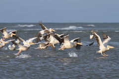 Flock of great pelicans  taking flight Stock Image