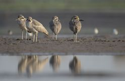 Flock of Great stone curlew stock image