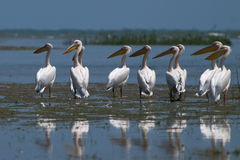 Flock of Great White Pelicans Stock Photography