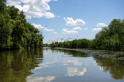 Flock of great white pelicans in Danube Delta royalty free stock photos