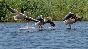 Flock of great white pelicans on Danube river. A flock of great white pelicans (Pelecanus onocrotalus) taking off from the water on the Danube river delta in royalty free stock photography