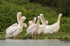 Flock of Great White Pelicans on Naivasha Lake Royalty Free Stock Photo