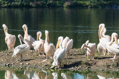 Flock of great white pelicans Stock Images