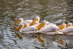 The flock great white pelicans Pelecanus onocrotalus, also known as the eastern white pelican or rosy pelican Royalty Free Stock Images